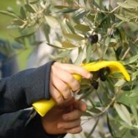 La raccolta delle olive in classe III